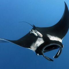 Giant Manta Ray - Manta Raya - Costa Rica